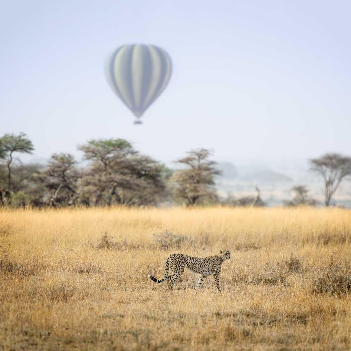 Cheetah and air baloon in Serengeti National Park