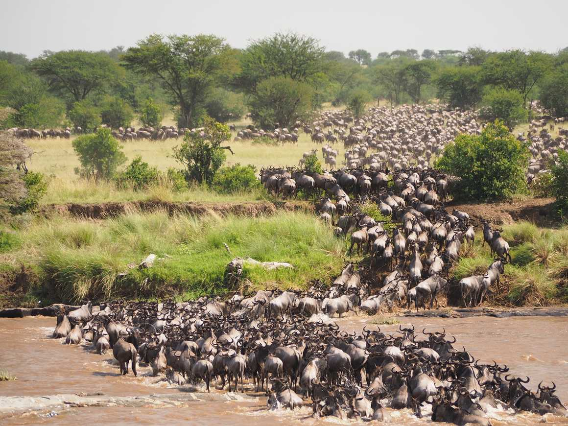 Great wildebeest migration crossing Mara river at Serengeti National Park