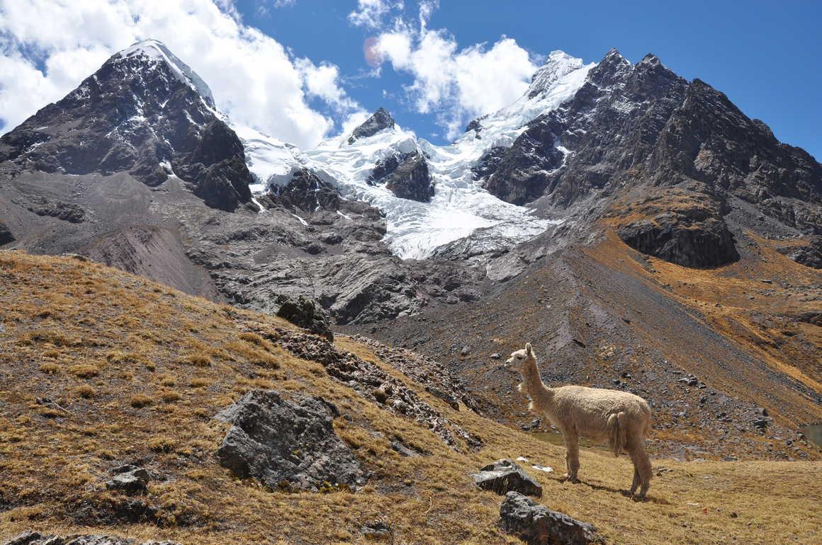 Lama during the Ausangate trek