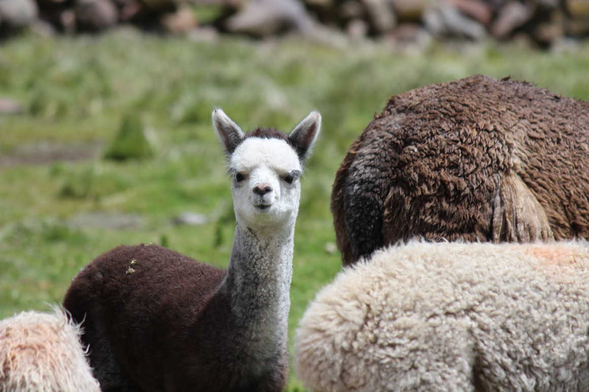 Meeting a lama during the Ausangate trail