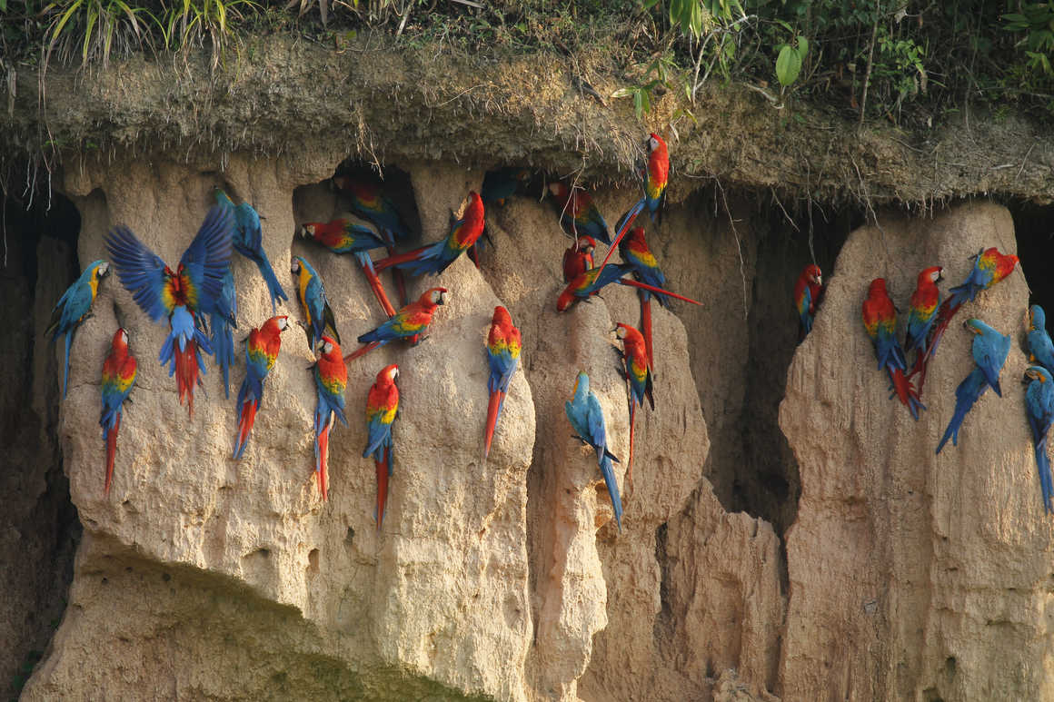 Red and blue macaws in the Peruvian Amazon forest