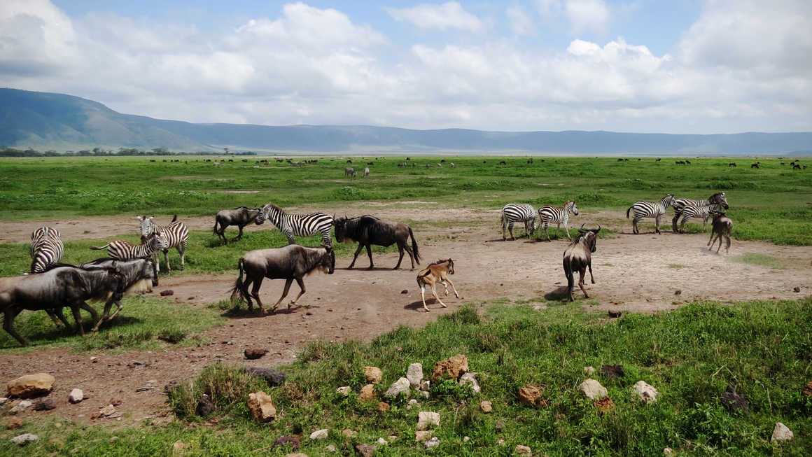 Wildlife in Ngorongoro crater
