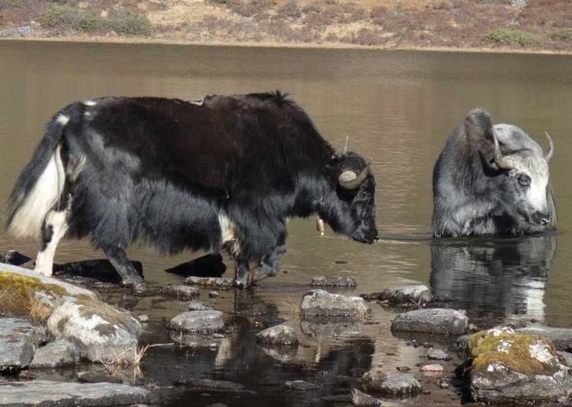 Yaks on Druth Path trek