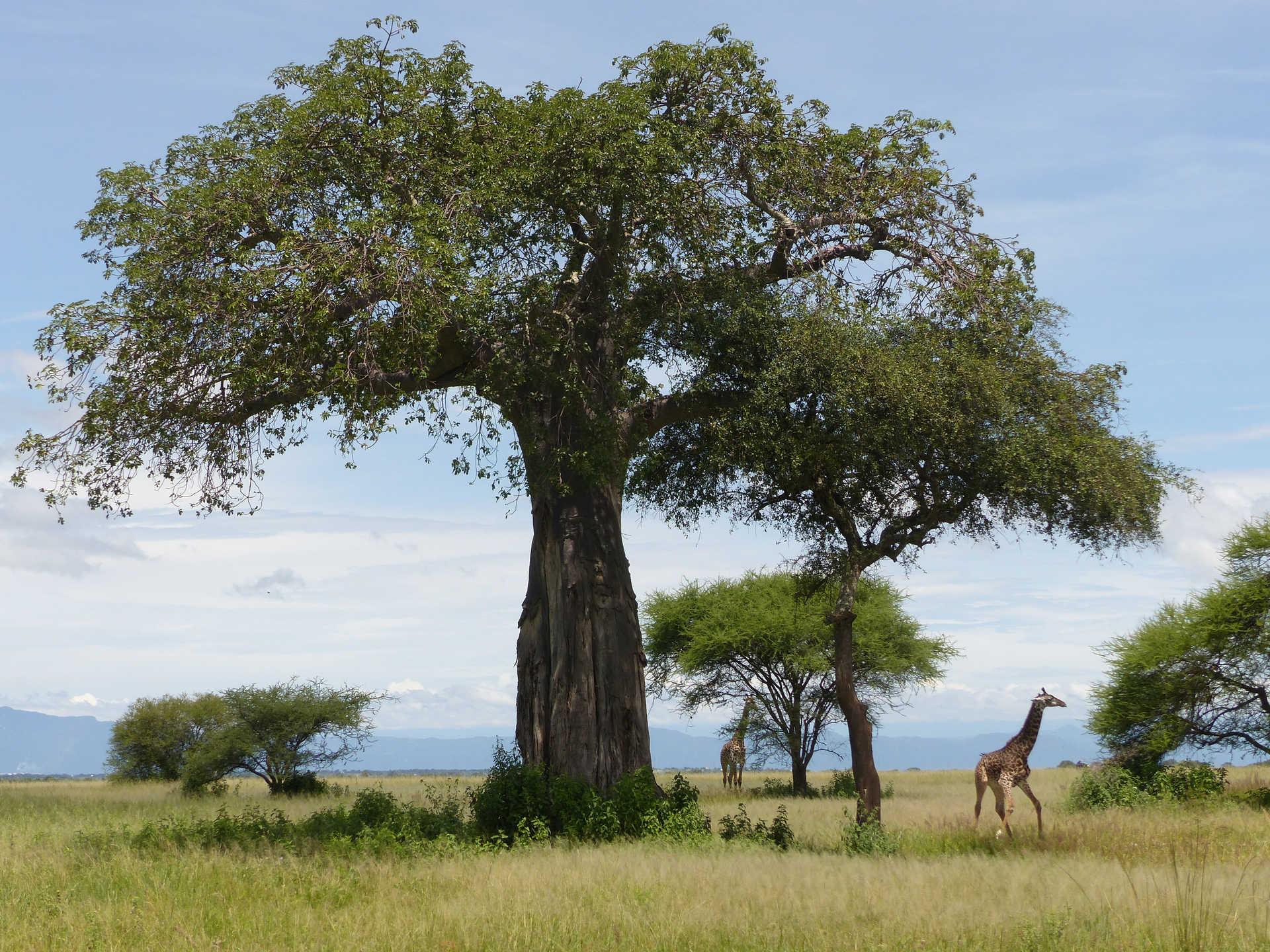 Giraffes in the Serengeti National Park