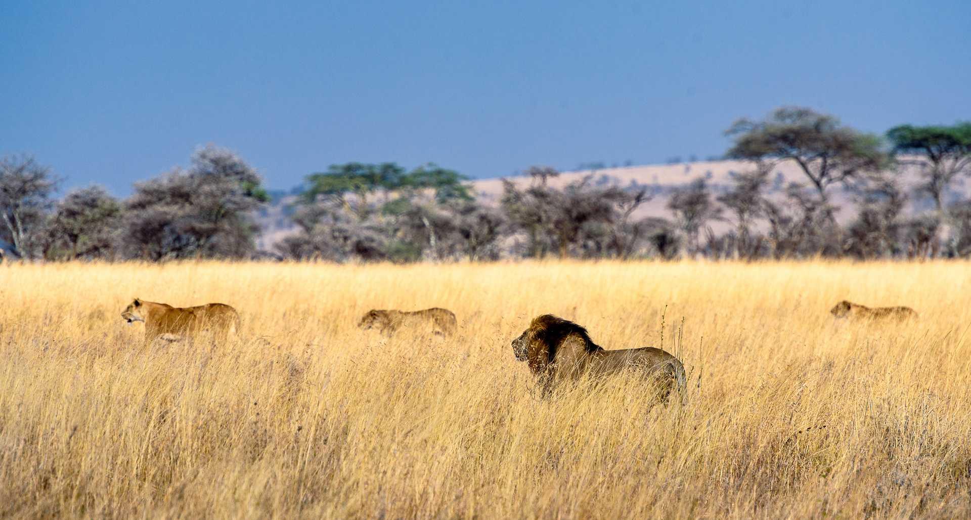 Herd of lions in the savannah