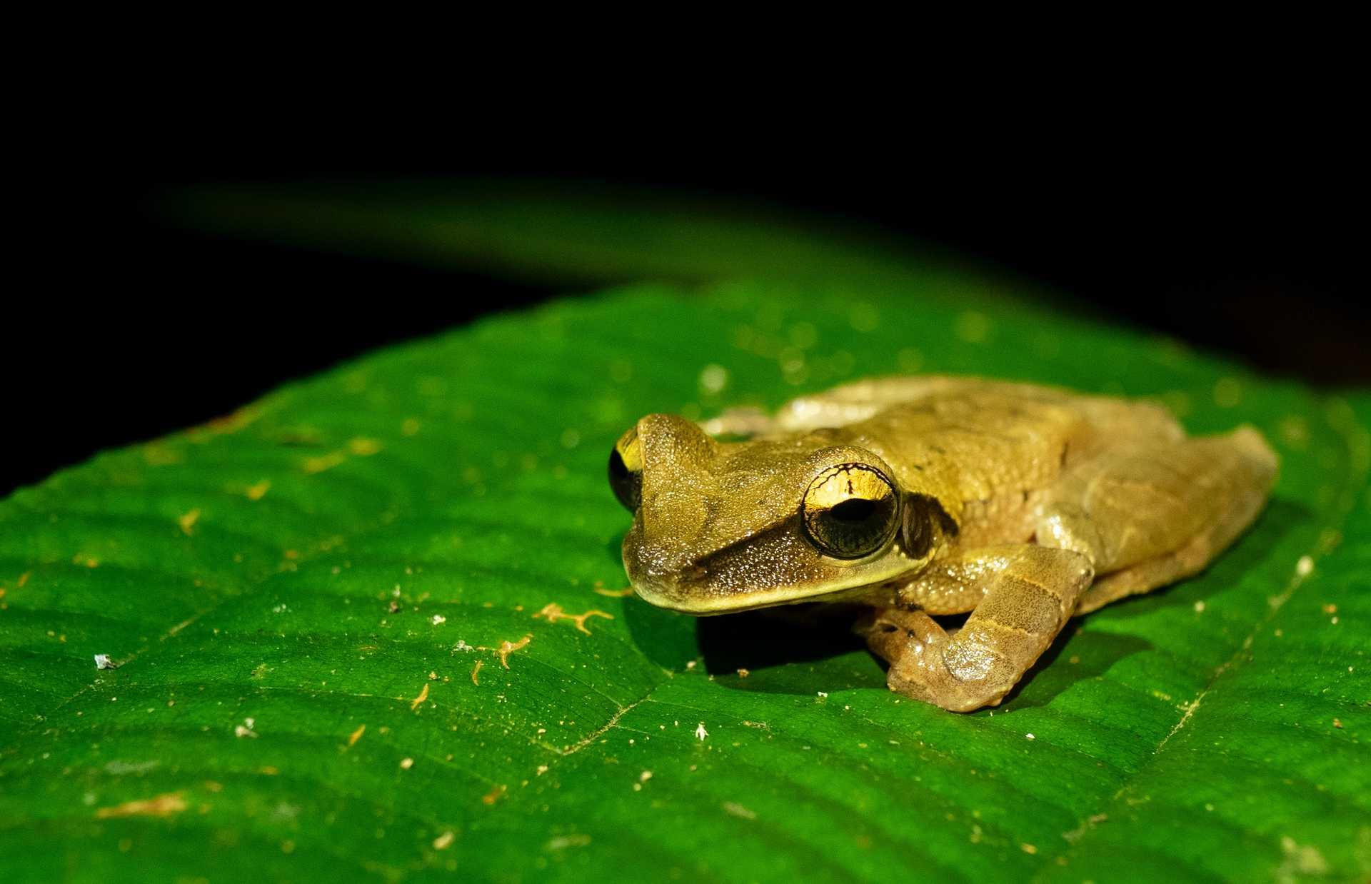 Tree frog, peru