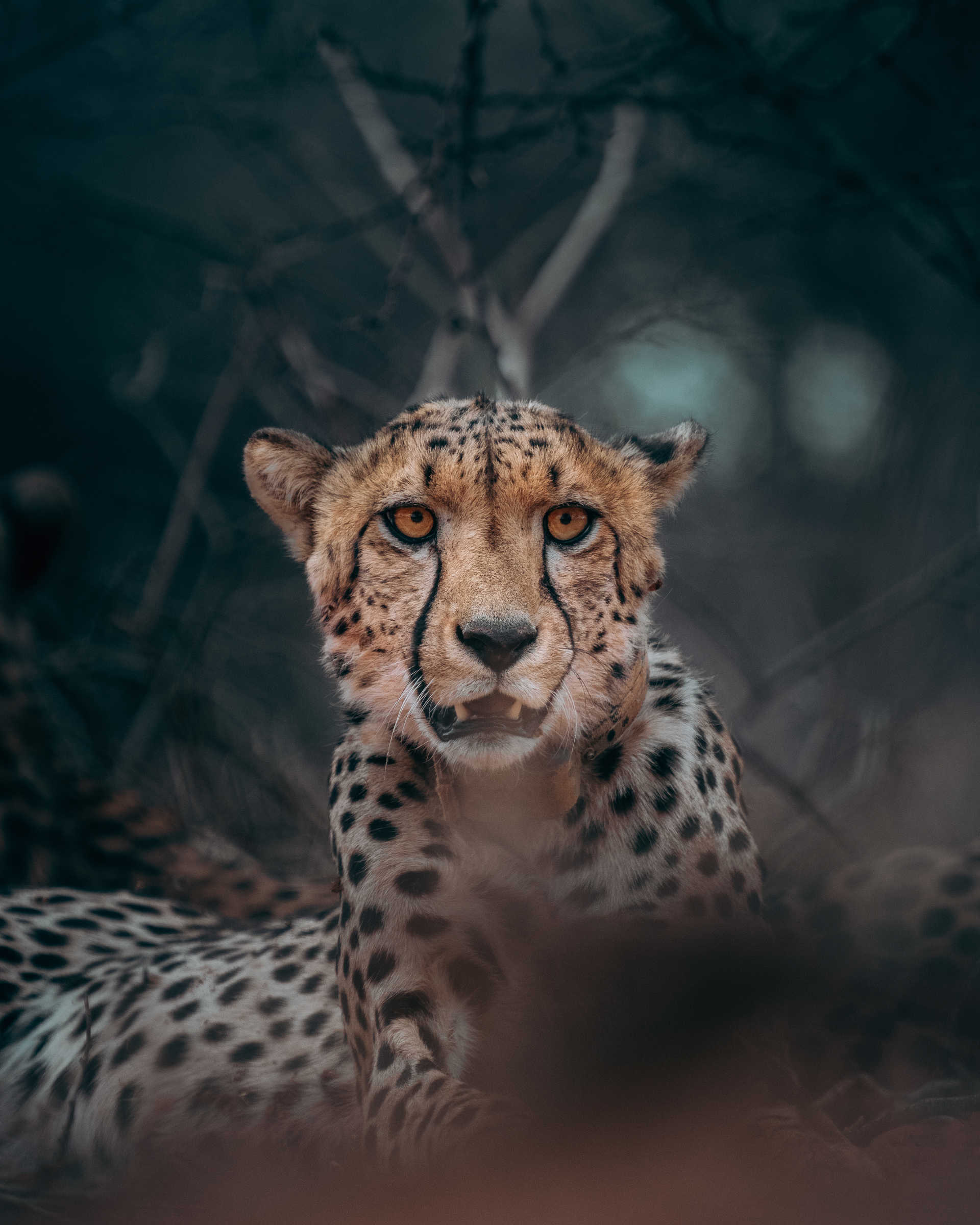 Wild cheetah in Tanzania