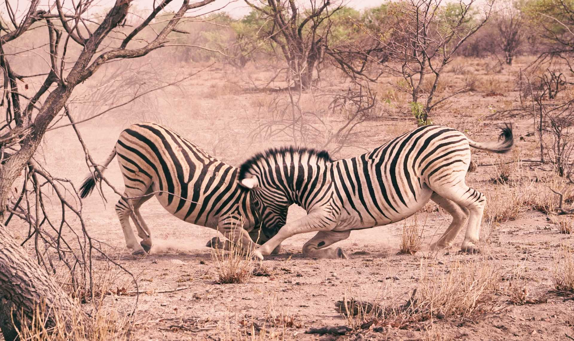 Zebras getting into a fight