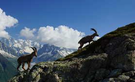 Alpine ibex in Chamonix region