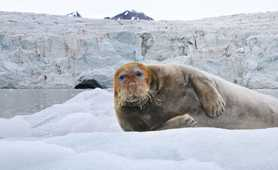 bearded seal in Spitsbergen