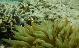 Clownfish in the Musandam fjords