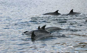 Dolphins in the Musandam fjords
