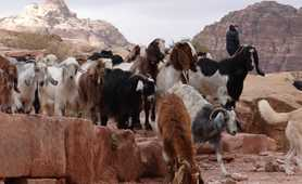 Goats in the lost city of Petra