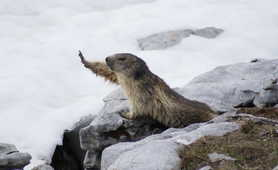 Groundhog in Chamonix region