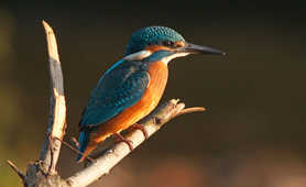 Kingfisher in Chitwan, Nepal