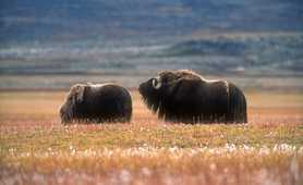 Musk ox of Greenland
