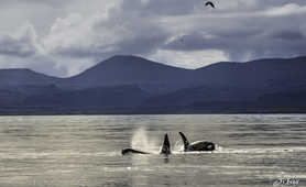 orcas in Iceland, whalewatching