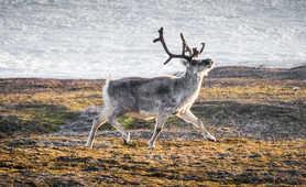 Reindeer in tundra of Arctic, Svalbard
