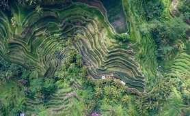 Rice terraces of Tegallalang in Indonesia