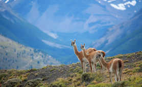 Vicunas in a Patagonian National Park
