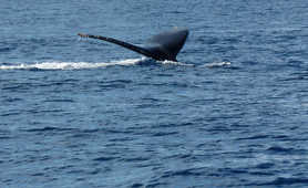 Whale tail off the coast of Reunion Island