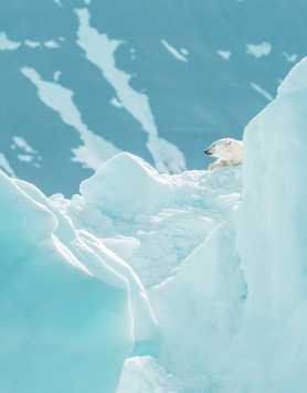 Polar bear resting on a glacier in Greenland