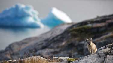 Arctic fox in the West Greenland