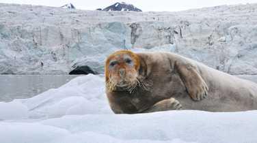 bearded seal in Spitsbergen