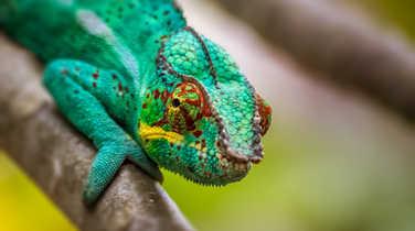 Chameleon on Reunion Island