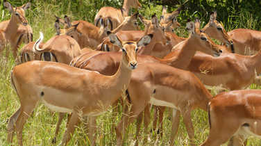 Female impalas in the Serengeti National Park