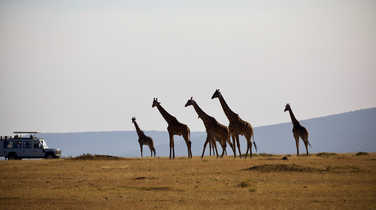 Giraffes on the Serengeti National Park