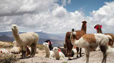 Herd of alpaga in Colca canyon region