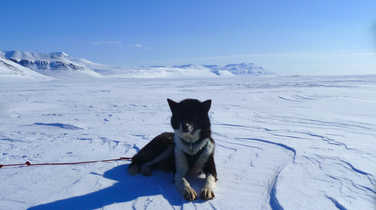 Husky, lying on ice in Svalbard