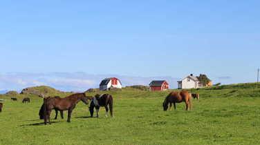 Icelandic Horses in Ramberg in Lofoten islands, Norway