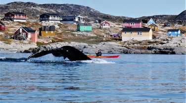 Kayaking with whales in Greenland