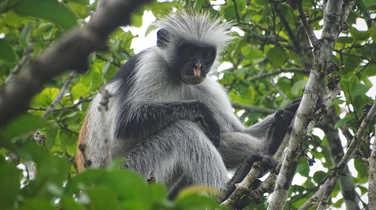 Monkey in Jozani Forest
