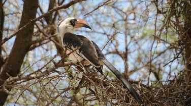 Northern red-billed hornbill