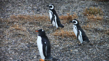 Penguins in Ushuaia