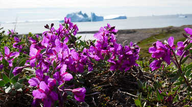 Pink flowers of Greenland
