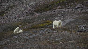 Polar bears in Svalbard