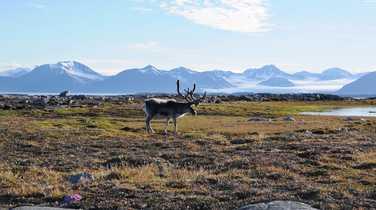 Reindeer in tundra in Svalbard