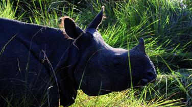 Rhino in Chitwan National Park, Nepal