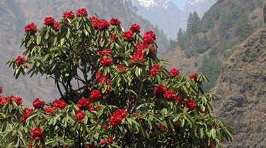 Rhododendron during the Manaslu circuit trek
