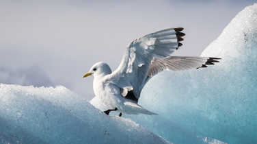 Seagull on iceberg in Arctic