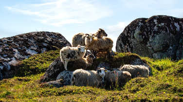 Sheeps in Lofoten islands