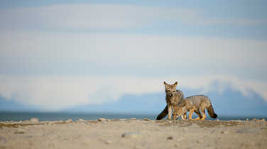 Wild foxes in Patagonia