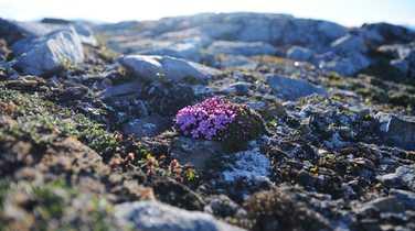 Wild polar flower in Spitsbergen