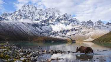 Yak crossing the Gokyo lake, Khumjung, Nepal