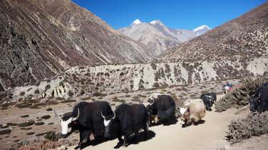 Yak in Kharka, Nepal