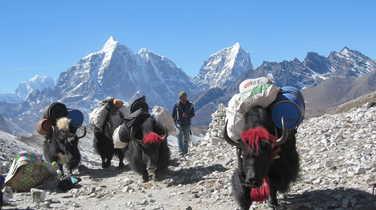Yaks during a trek in Nepal